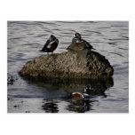 Patos del Harlequin, isla de Unalaska Tarjeta Postal