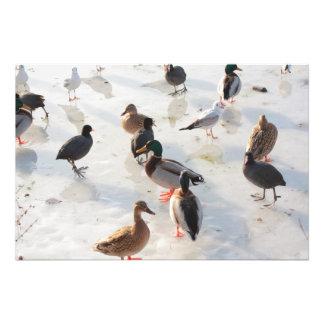 patos del hielo fotografias