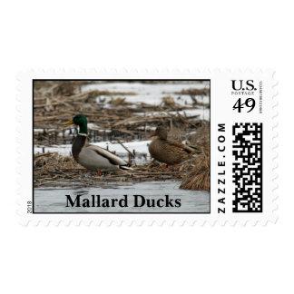 Patos del pato silvestre en sellos del invierno