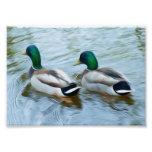 Patos del pato silvestre impresion fotografica