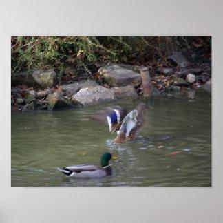 patos del pato silvestre impresiones