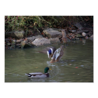 patos del pato silvestre póster