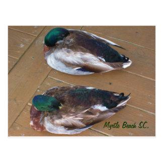 Patos del pato silvestre que ponen en el muelle postal