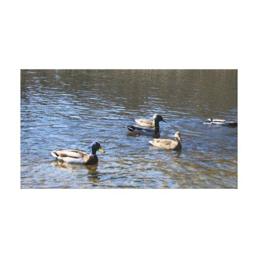 patos en agua lona envuelta para galerías