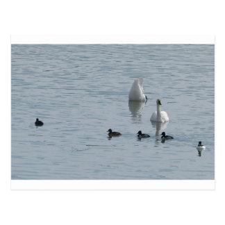 Patos en agua tarjeta postal