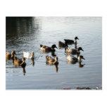Patos en el lago Soddy… Postal
