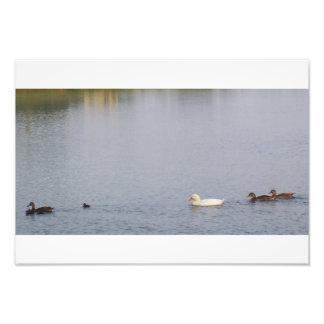 patos en la charca fotografías