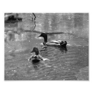 Patos en la impresión BW de la foto de la lluvia Cojinete