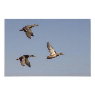 Patos en vuelo fotografías