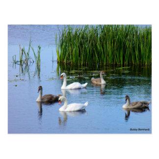 Patos irlandeses en el río Shannon Postal