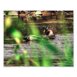 Patos masculinos del pato silvestre fotografías