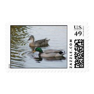 Patos masculinos y femeninos del pato silvestre franqueo