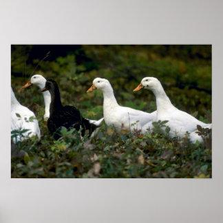 Patos nacionales póster