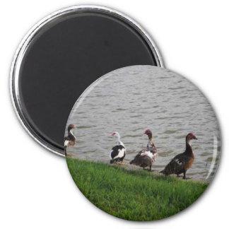 Patos por un lago imán redondo 5 cm