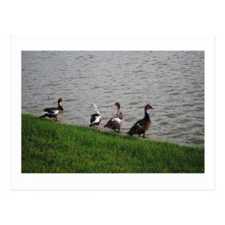 Patos por un lago postal