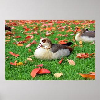Patos que mienten en hierba impresiones