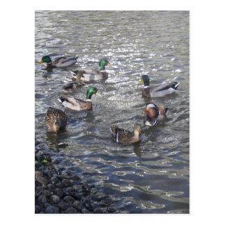 Patos que nadan en la postal del lago