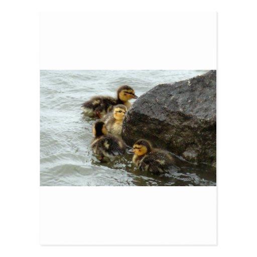 Patos silvestres del bebé que nadan alrededor de postales