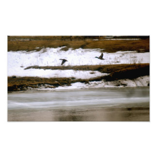 Patos silvestres que salen de un río semi congelad fotos