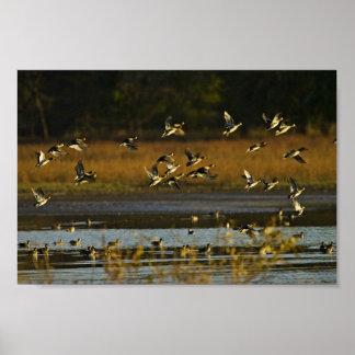 Patos silvestres que suben del agua póster