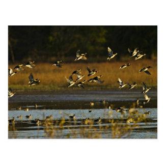 Patos silvestres que suben del agua tarjetas postales