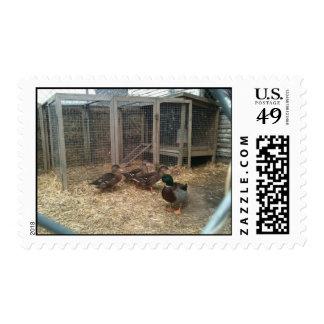 Patos silvestres sellos