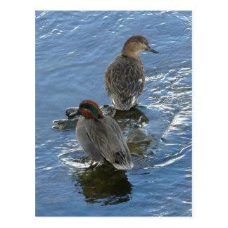 patos Verde-cons alas del trullo, isla de Unalaska Postal