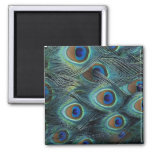 Pattern in male peacock feathers 2 inch square magnet