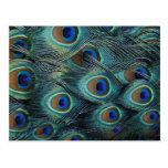 Pattern in male peacock feathers postcard