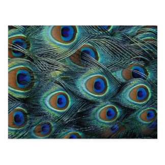 Pattern in male peacock feathers post card