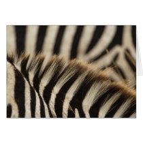 Pattern of Burchell's Zebra stripes, Equus