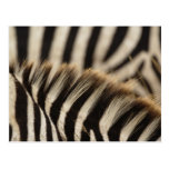 Pattern of Burchell's Zebra stripes, Equus Post Cards