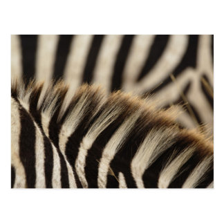 Pattern of Burchell's Zebra stripes, Equus Postcard