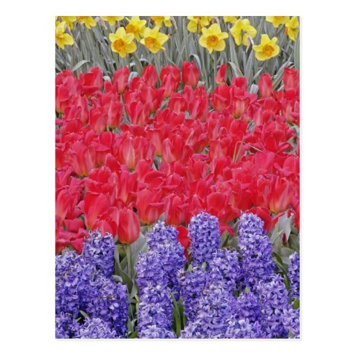 Pattern of hyacinth, tulips, and daffodils, postcards