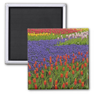 Pattern of tulips and grape hyacinth flowers, 2 2 inch square magnet