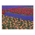 Pattern of tulips and Grape Hyacinth flowers, 3 Postcard