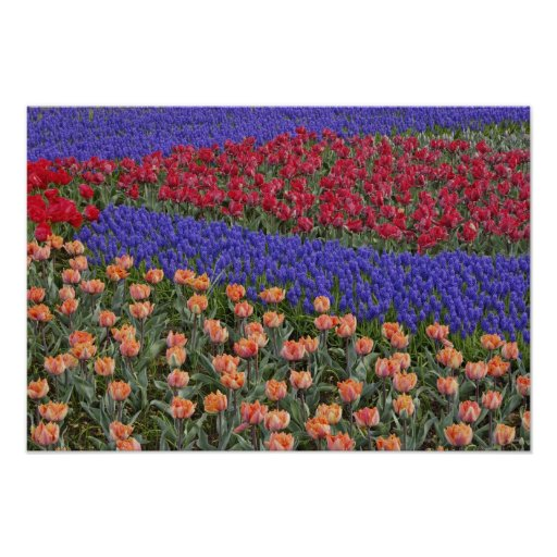Pattern of tulips and Grape Hyacinth flowers, 3 Posters