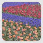 Pattern of tulips and Grape Hyacinth flowers, 3 Square Sticker