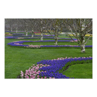 Pattern of tulips and Grape Hyacinth flowers, 4 Poster
