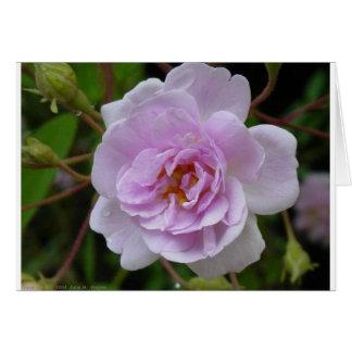 Paul's Himalayan Musk Rose Card