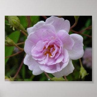 Paul's Himalayan Musk Rose Poster