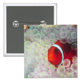 Paupau New Guinea, Great Barrier Reef, 2 Inch Square Button