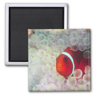 Paupau New Guinea, Great Barrier Reef, 2 Inch Square Magnet