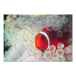 Paupau Nueva Guinea, la gran barrera de coral, Cojinete