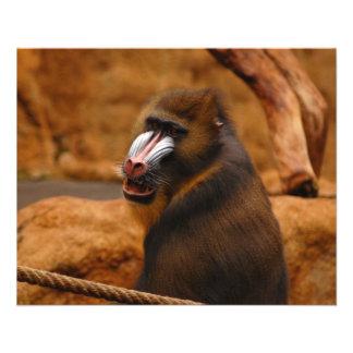 Pavian/Baboon Flyer