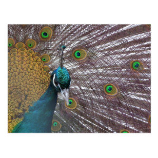 Pavo real 39a postales