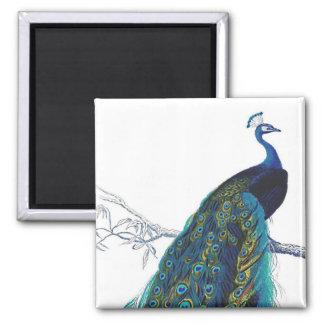 Pavo real azul con las plumas de cola hermosas imán de frigorífico