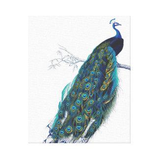 Pavo real azul con las plumas de cola hermosas impresiones en lona estiradas