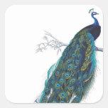 Pavo real azul con las plumas de cola hermosas calcomanias cuadradas