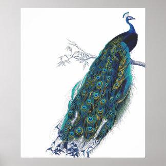 Pavo real azul con las plumas de cola hermosas póster